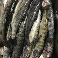 Htalburyさんの岐阜県岐阜市での釣果写真