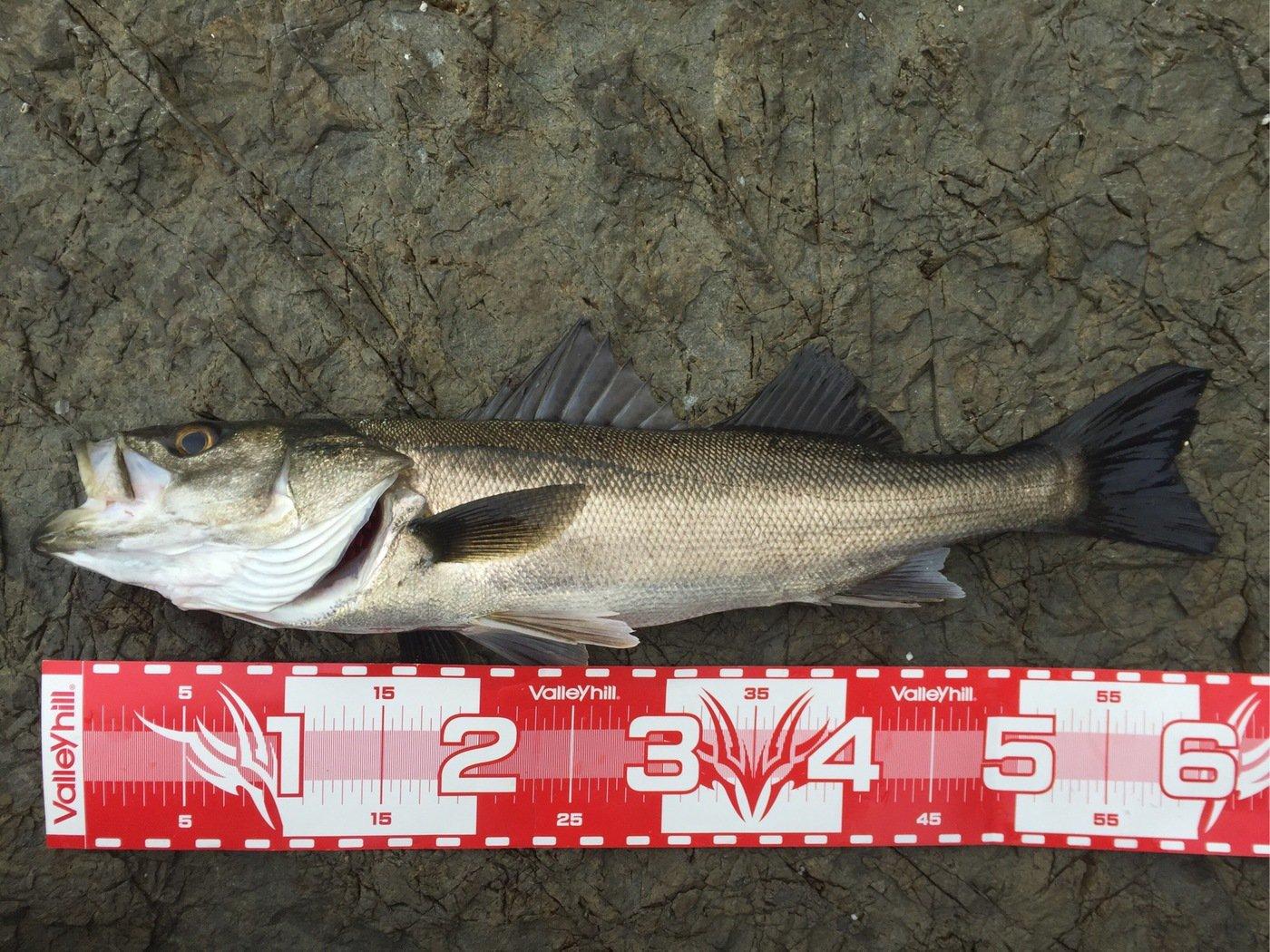 KOZYさんの投稿画像,写っている魚はスズキ