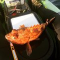 aloha-xxさんの静岡県賀茂郡でのカサゴの釣果写真