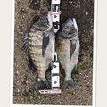 Satoさんの青森県平川市での釣果写真