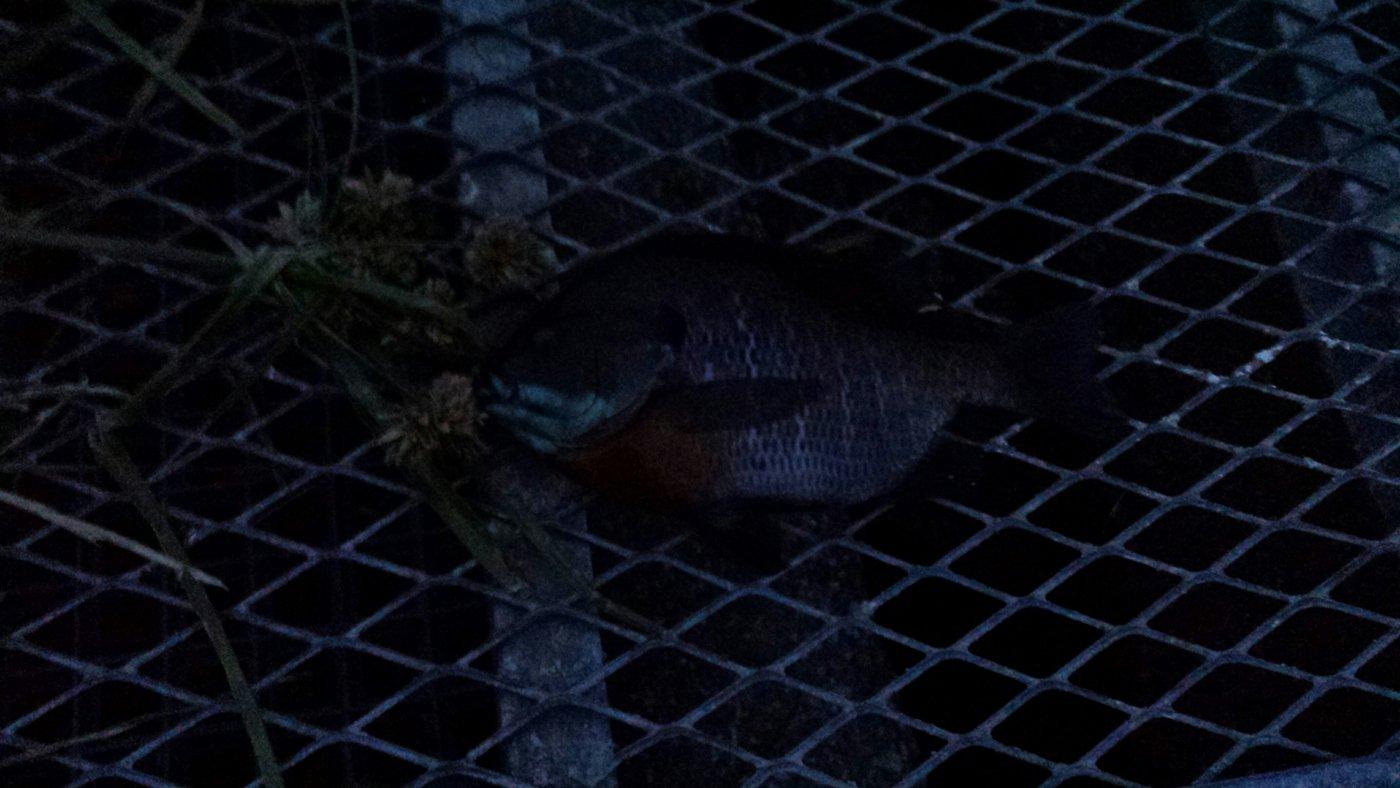 海智さんの投稿画像,写っている魚はブルーギル
