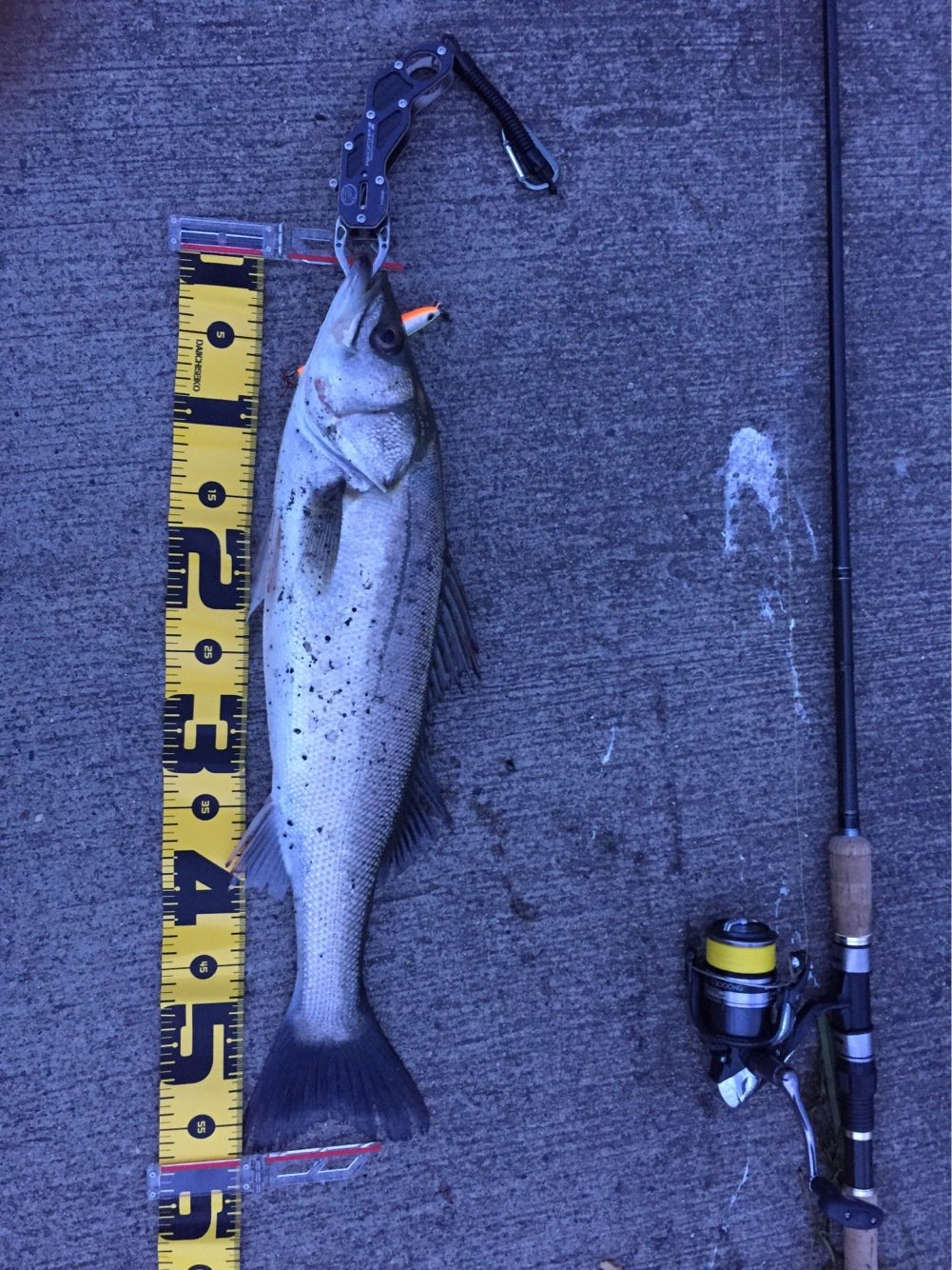 ノトさんの投稿画像,写っている魚はスズキ