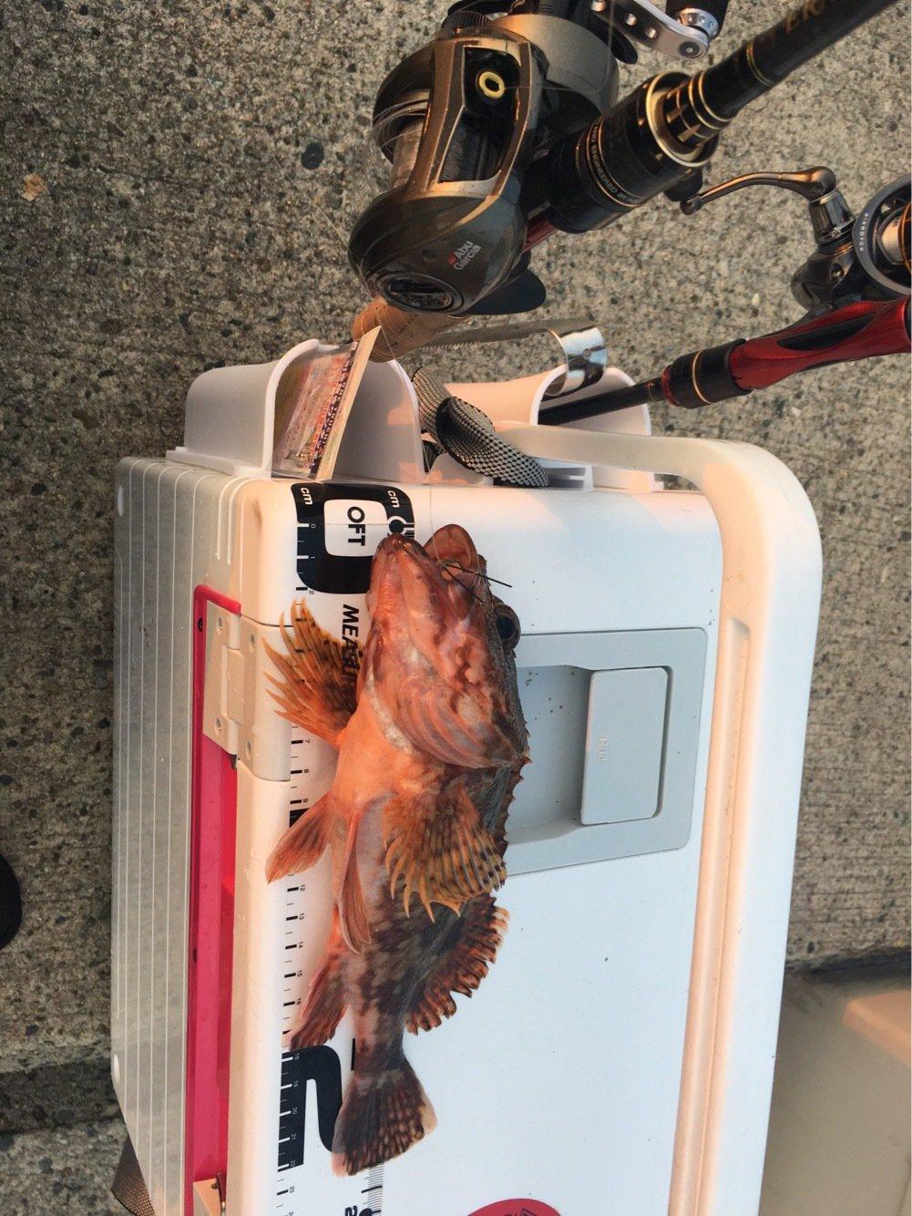 ゆうきりんりんさんの投稿画像,写っている魚はカサゴ