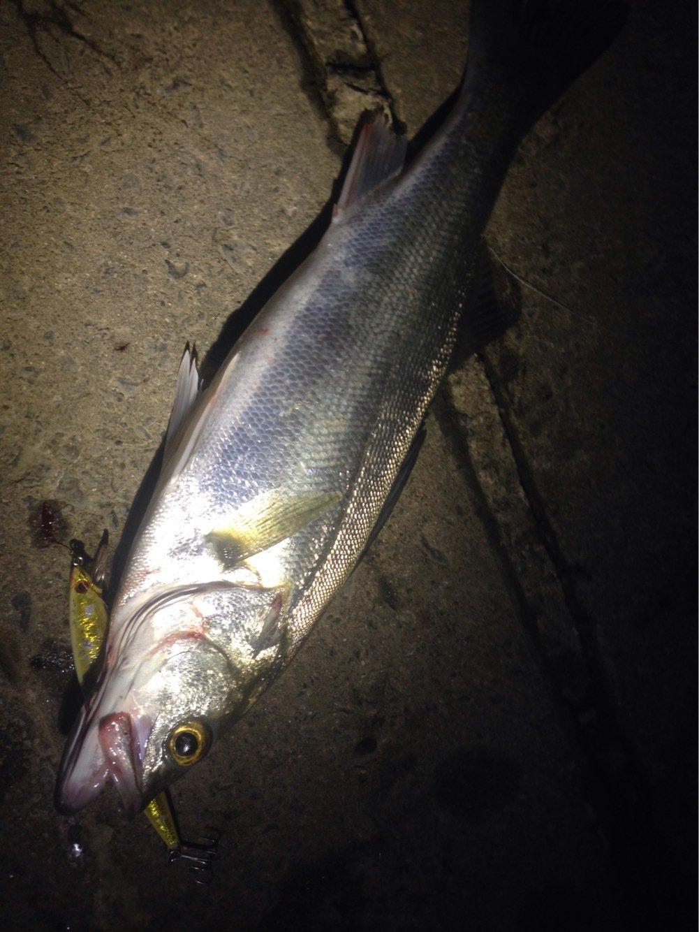 へたっぴ三ちゃんさんの投稿画像,写っている魚はスズキ