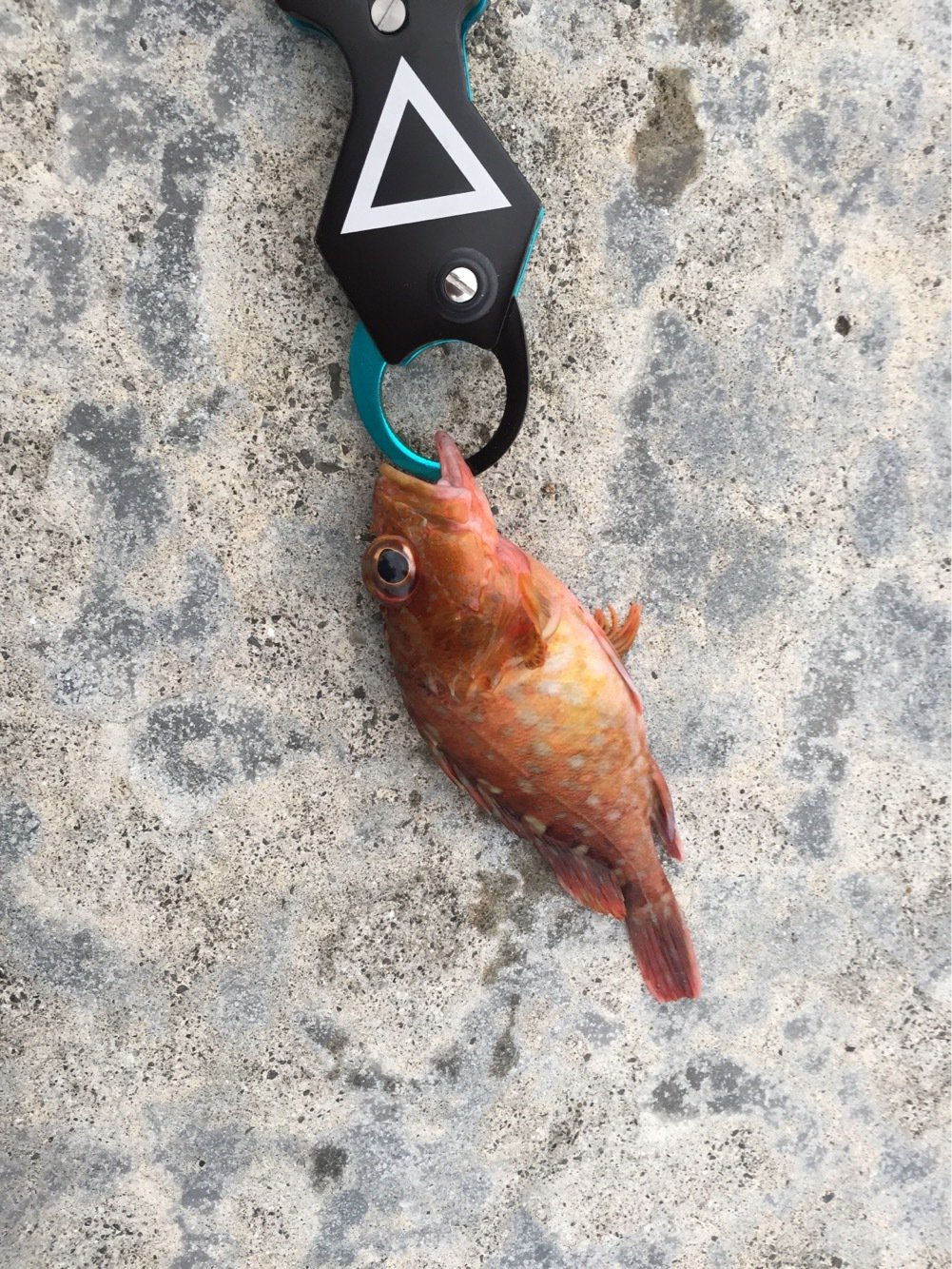 たちばなさんの投稿画像,写っている魚はコチ