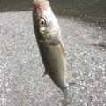 musshuさんの徳島県那賀郡での釣果写真