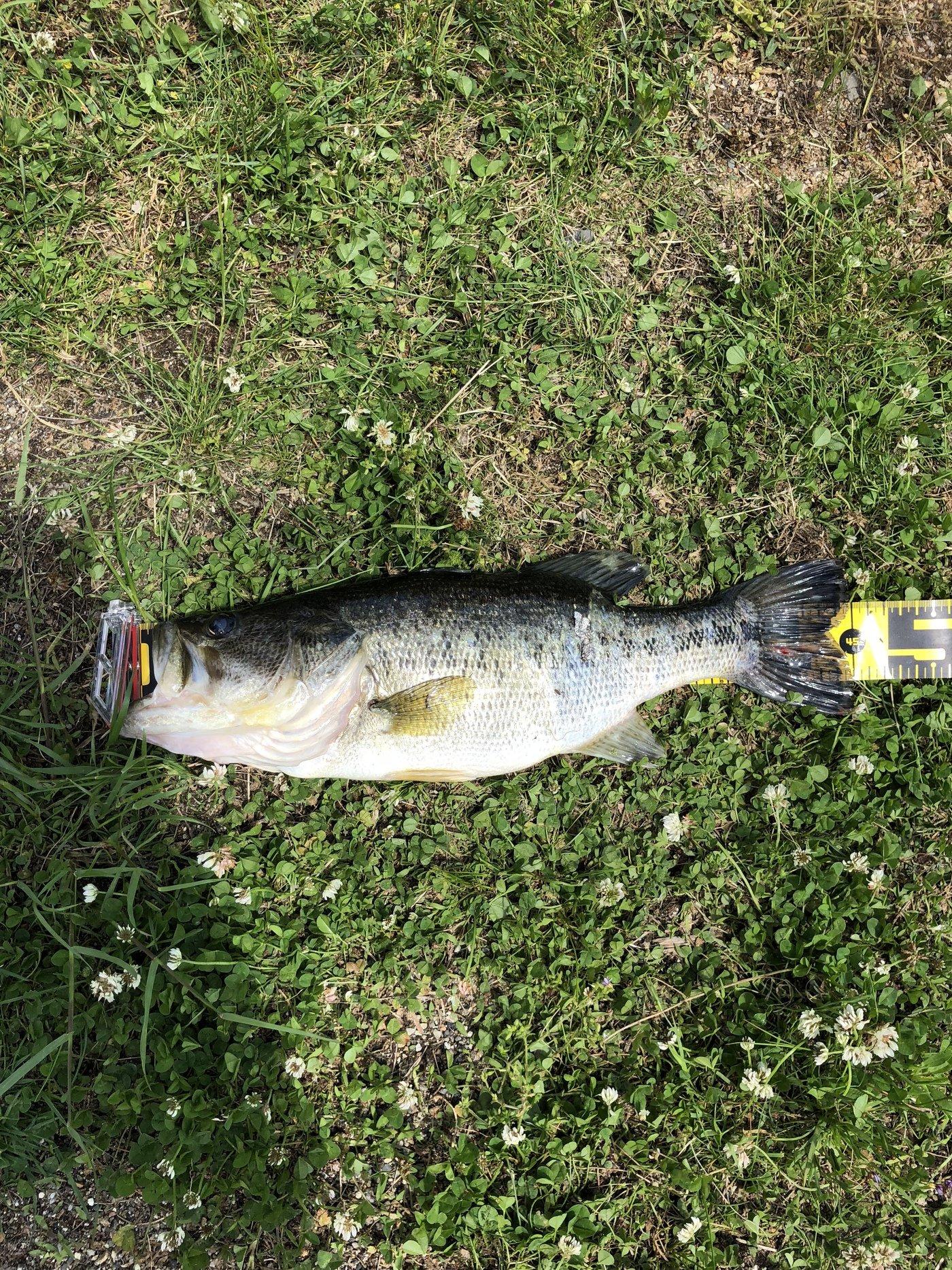 Weapon Xさんの投稿画像,写っている魚はブラックバス