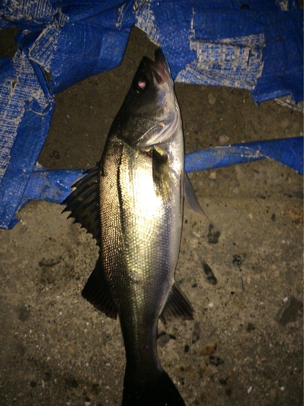 ナオキさんの投稿画像,写っている魚はスズキ
