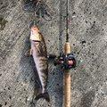 釣人21号さんの北海道岩内郡でのホッケの釣果写真