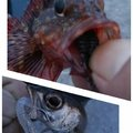 KRO さんの静岡県沼津市でのムツの釣果写真