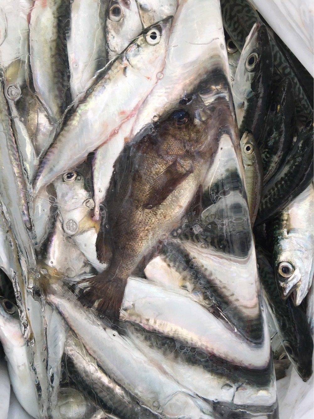 釣りキッチャンさんの投稿画像,写っている魚は