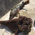 FREESTYLE(おーみ)さんの宮城県本吉郡でのアイナメの釣果写真