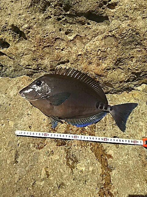 山北さんの投稿画像,写っている魚はニザダイ