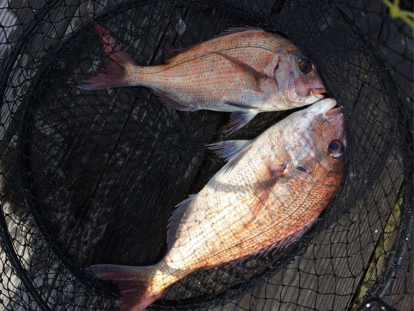虎さんの投稿画像,写っている魚はマダイ