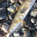ラッセルさんの北海道島牧郡での釣果写真