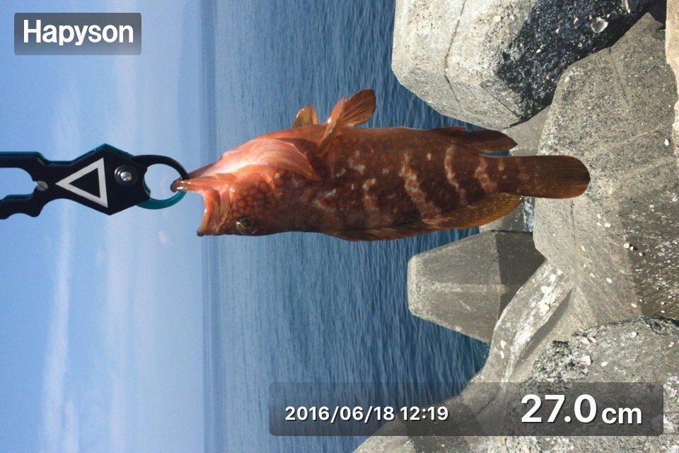 たちばなさんの投稿画像,写っている魚はキジハタ
