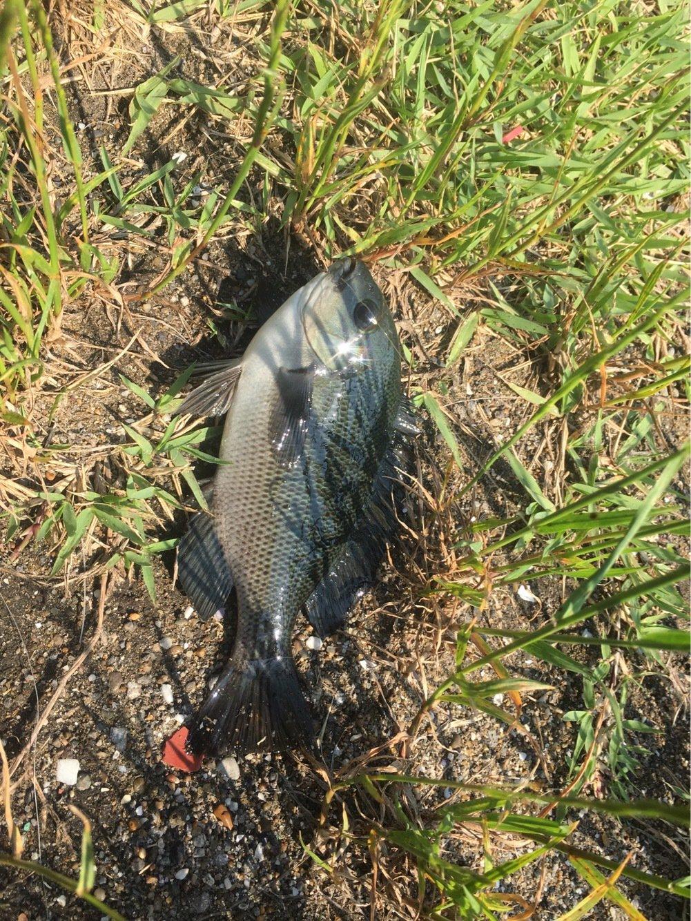 釣りキチこじ平さんの投稿画像,写っている魚はメジナ