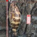 ふんにもさんの鹿児島県鹿児島市でのオオモンハタの釣果写真