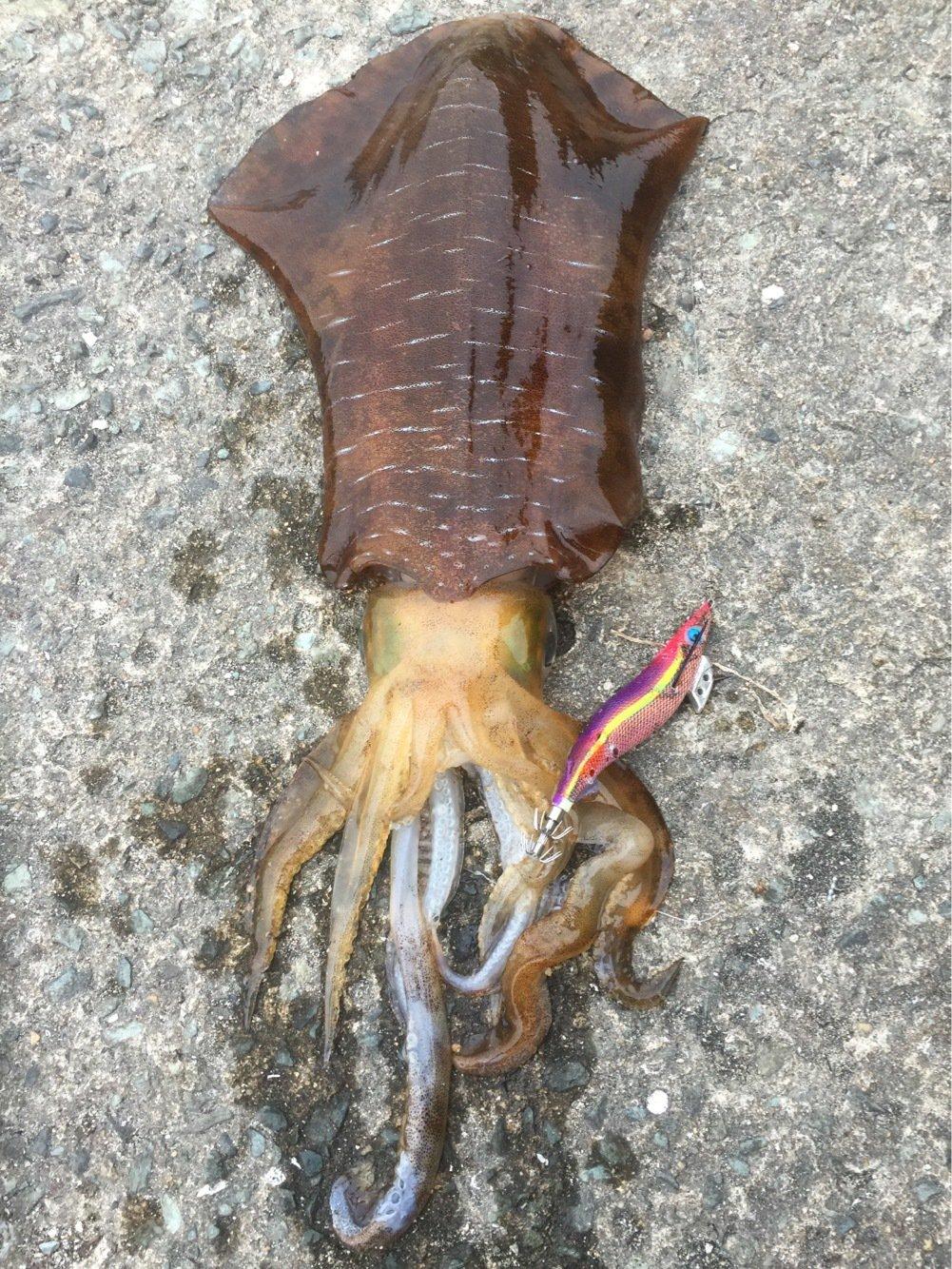 レオルナさんの投稿画像,写っている魚はアオリイカ