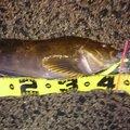 ユダヤさんの北海道函館市でのアイナメの釣果写真