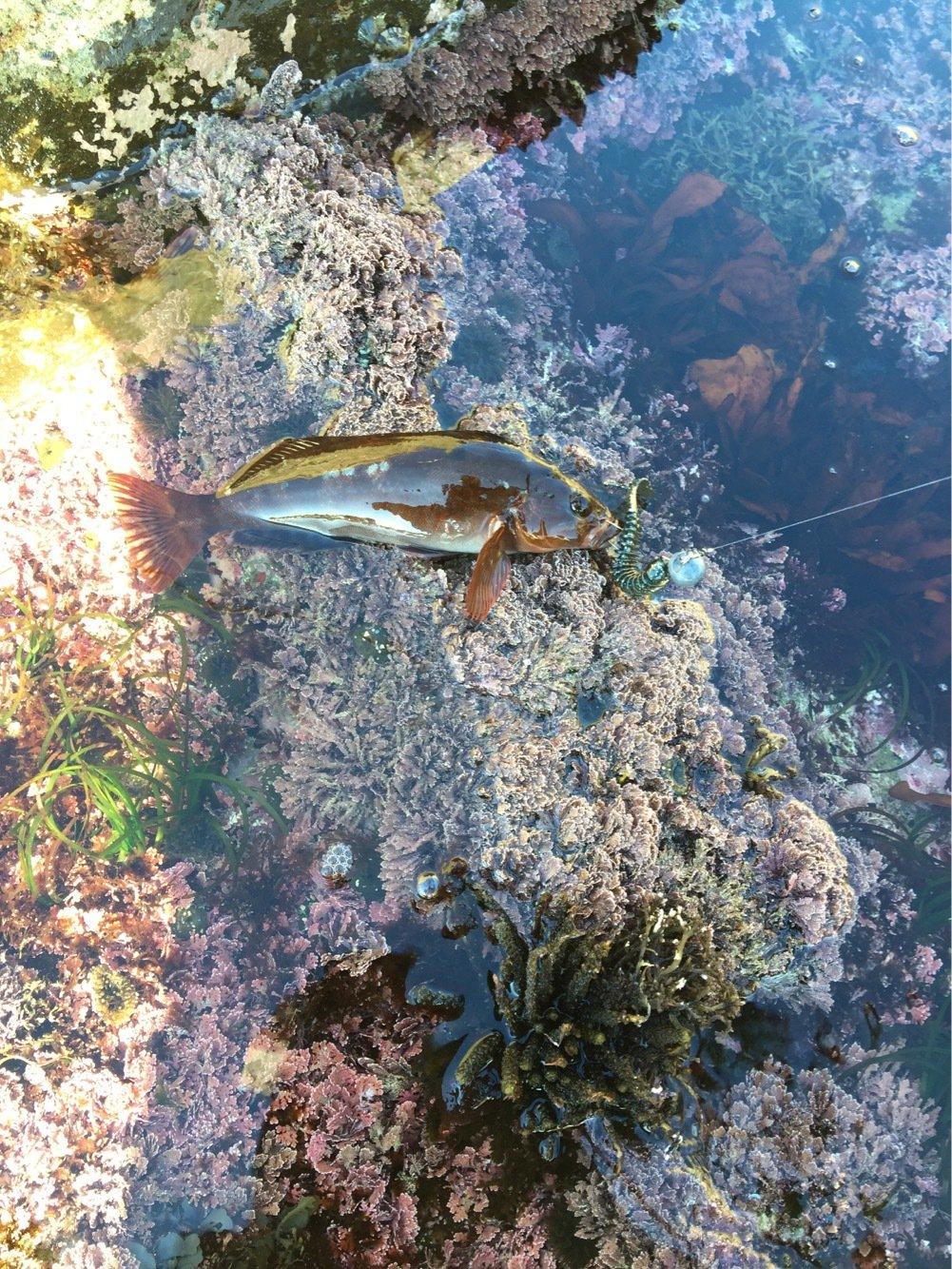 函館 Nさんの投稿画像,写っている魚はアイナメ