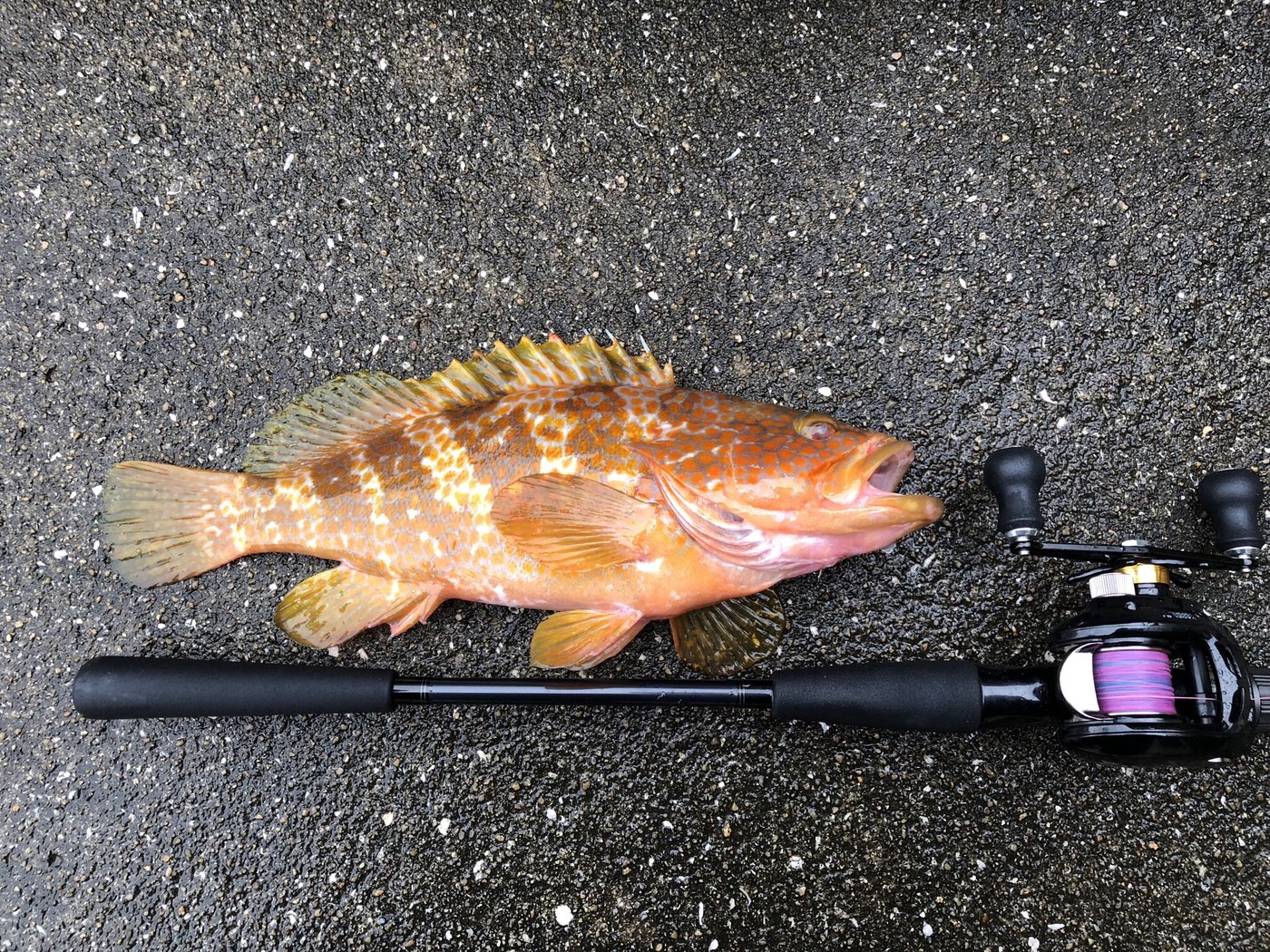 Takumaさんの投稿画像,写っている魚はキジハタ