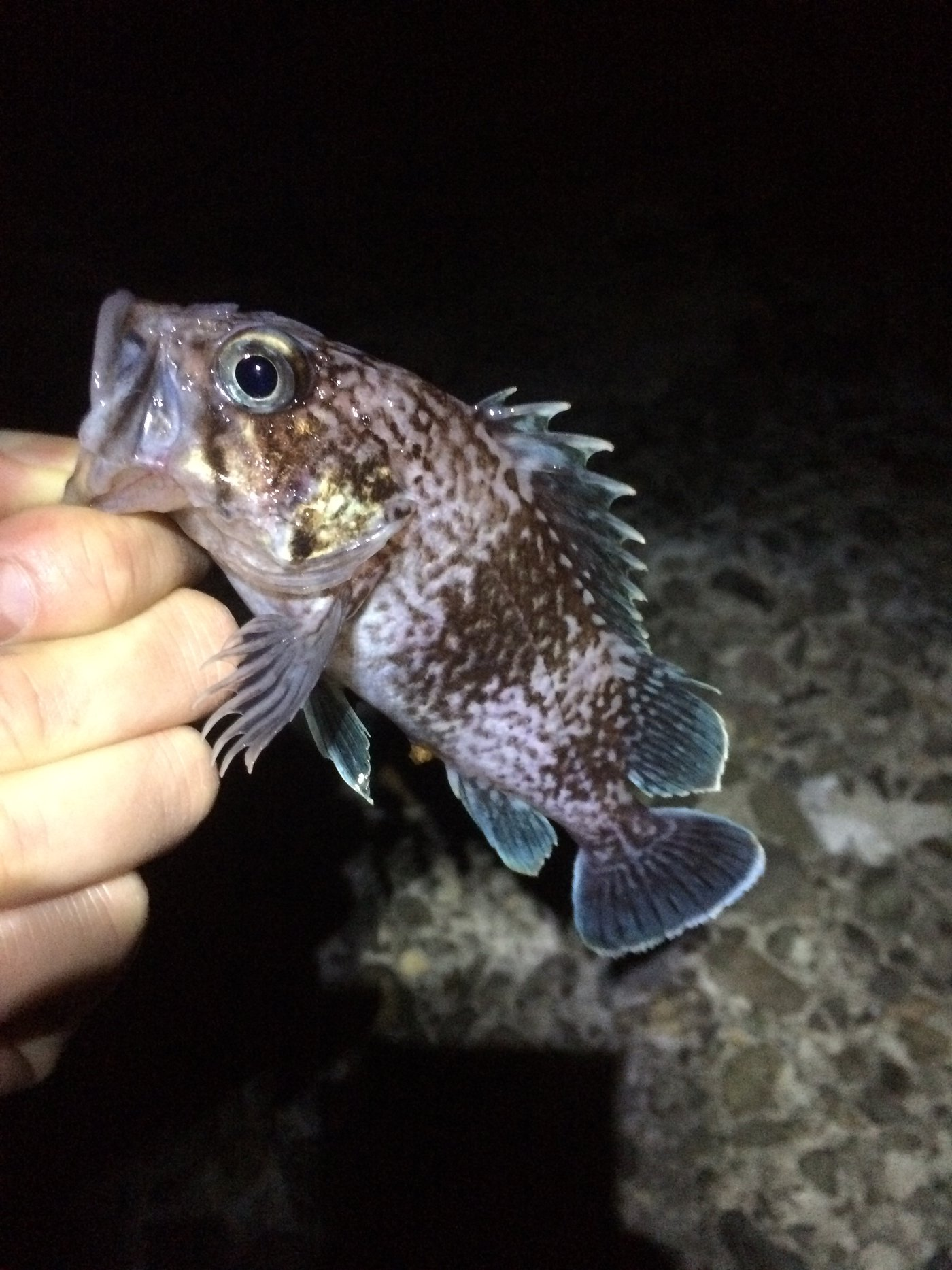 JOH-Zさんの投稿画像,写っている魚はクロソイ