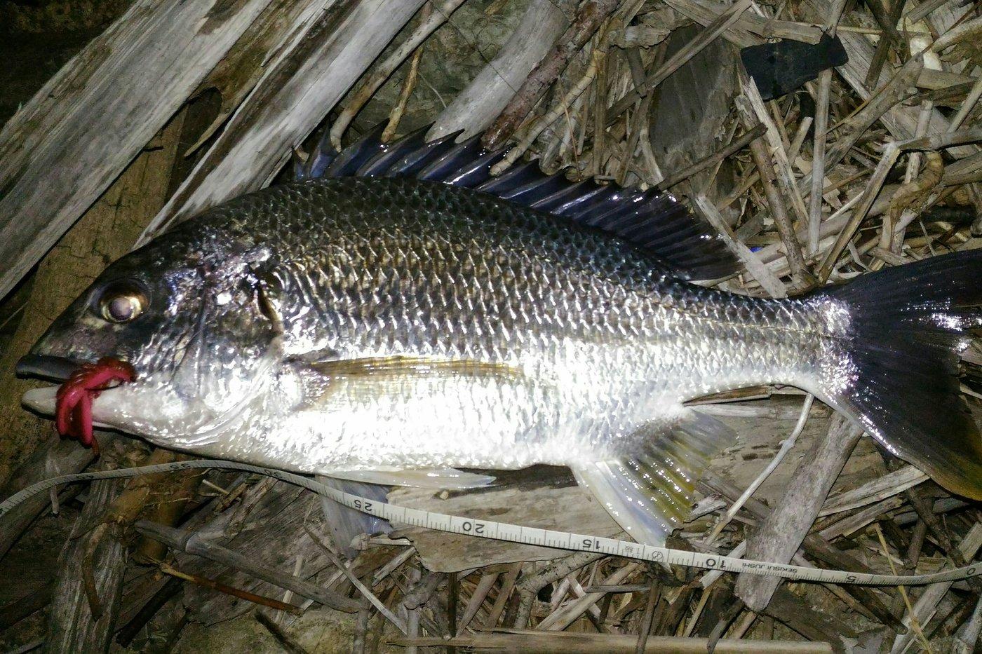 シャローさんの投稿画像,写っている魚はキチヌ