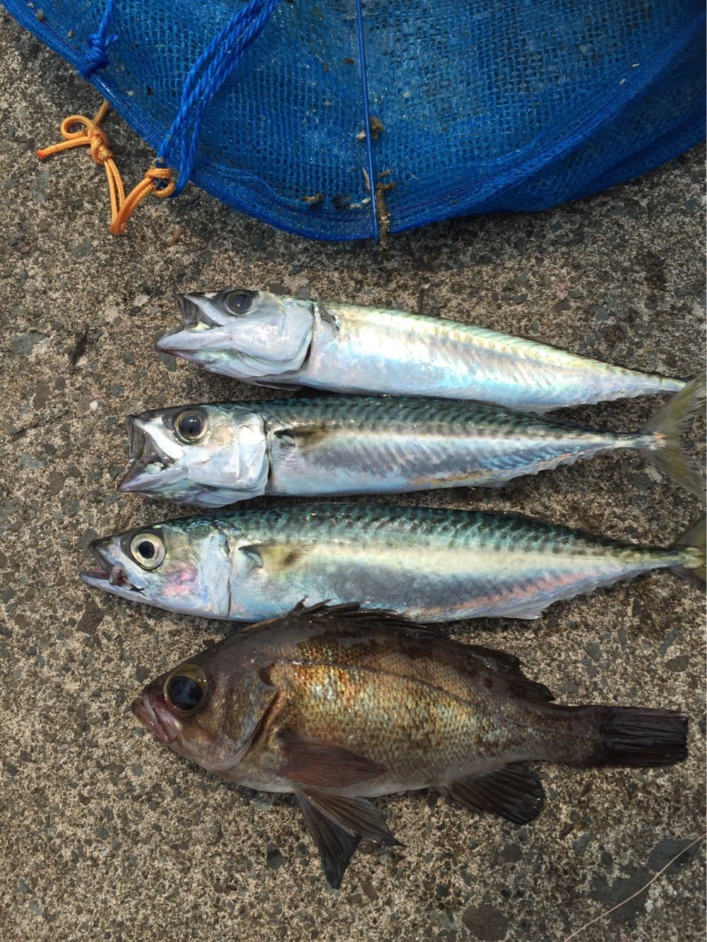 キイチさんの投稿画像,写っている魚は