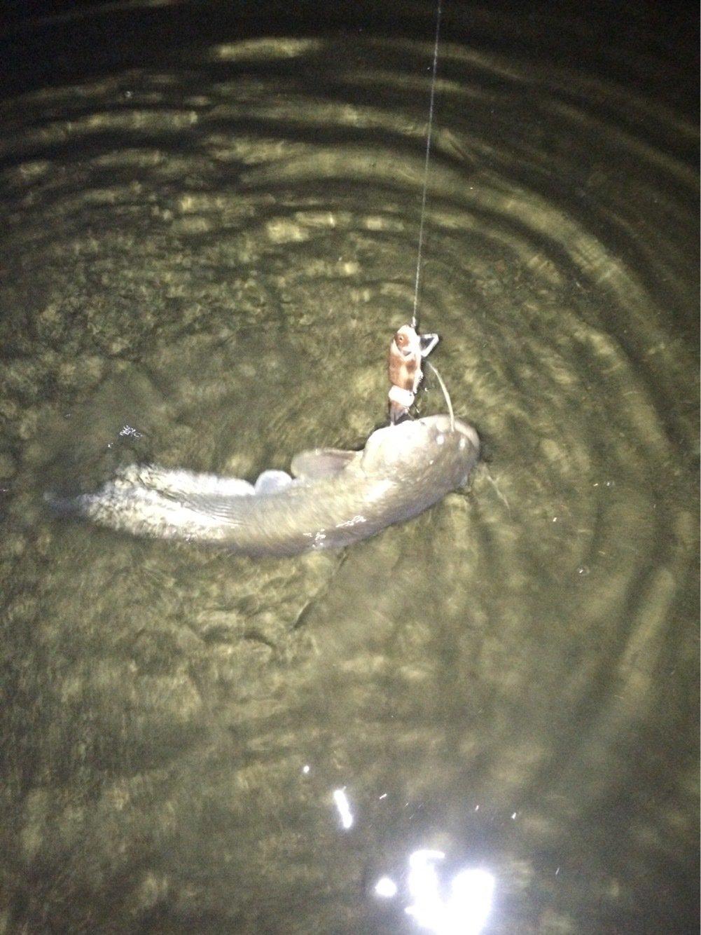 fc0825さんの投稿画像,写っている魚はナマズ