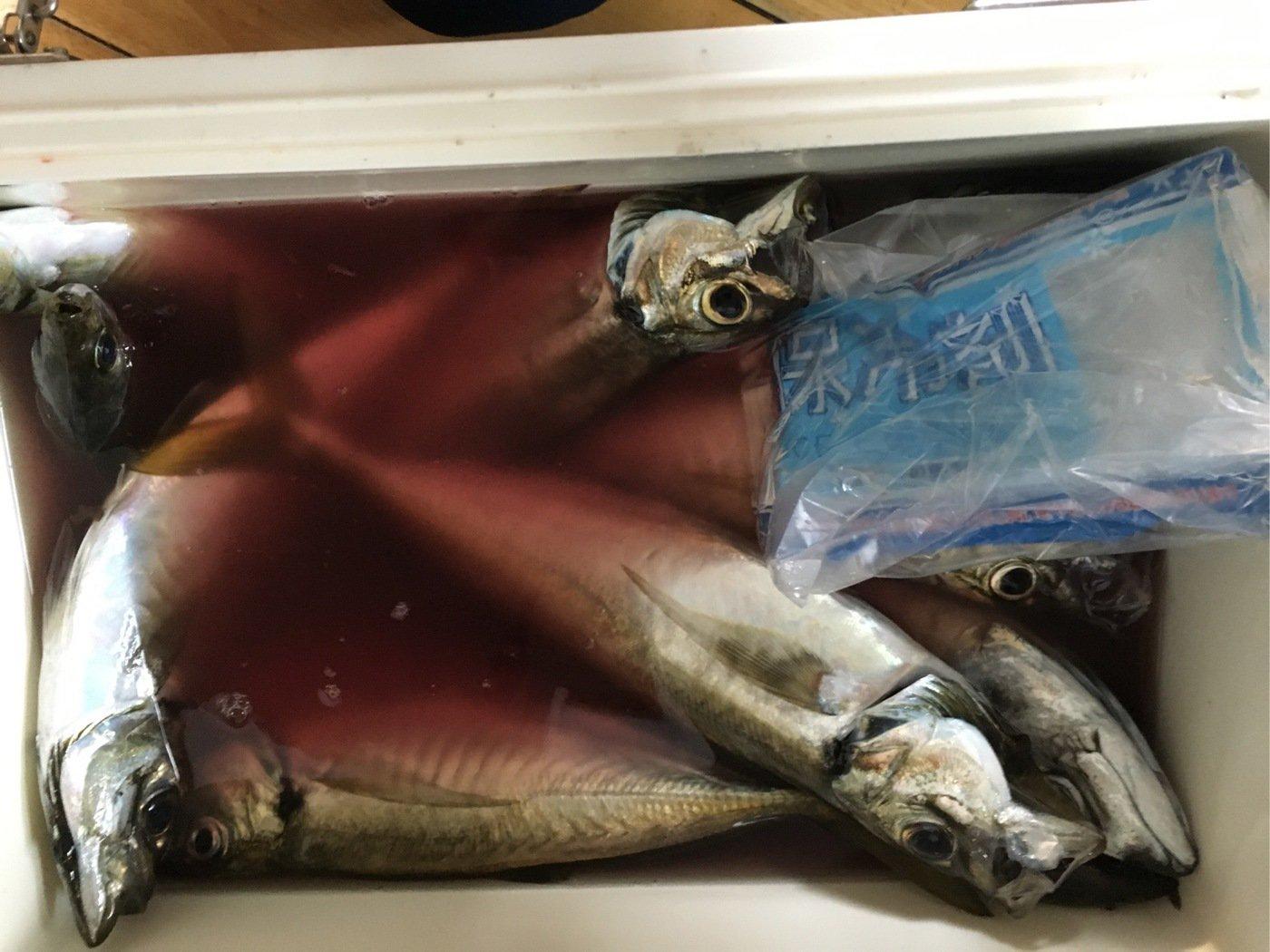 ぬこ好きさんの投稿画像,写っている魚はアジ