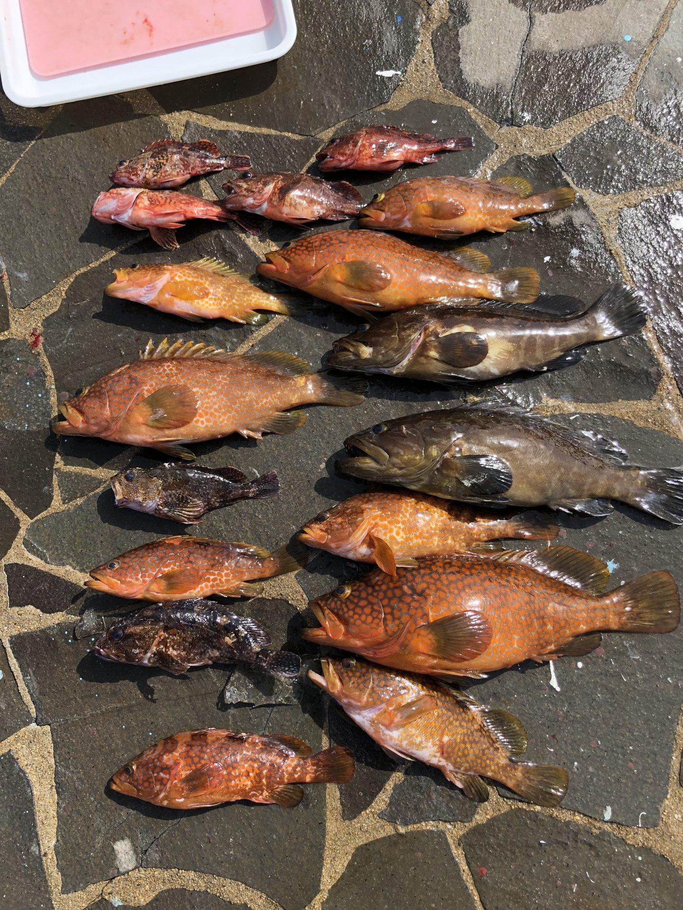 てつさんの投稿画像,写っている魚はクエ,キジハタ,カサゴ