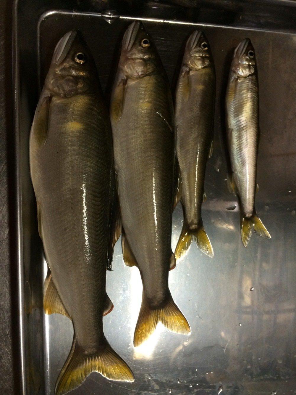 Alexさんの投稿画像,写っている魚はアユ