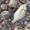 ハッチさんの山梨県西八代郡での釣果写真