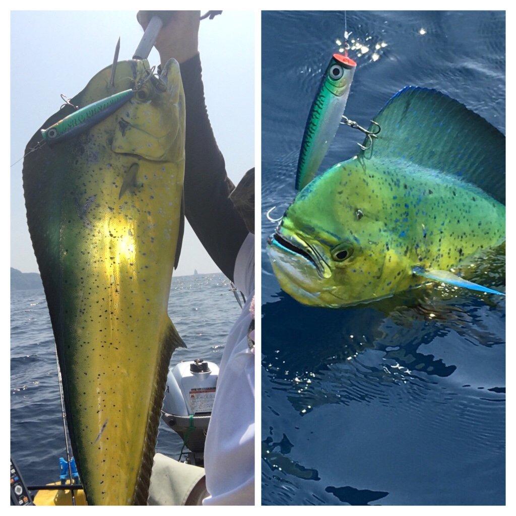 け〜たゴリラさんの投稿画像,写っている魚はシイラ