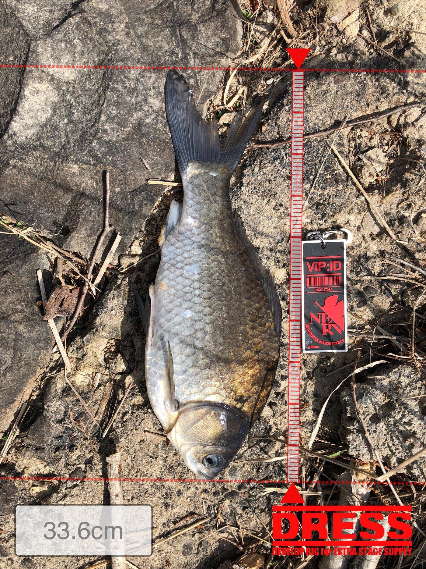 焼き鳥@つり政宗さんの投稿画像,写っている魚はヘラブナ