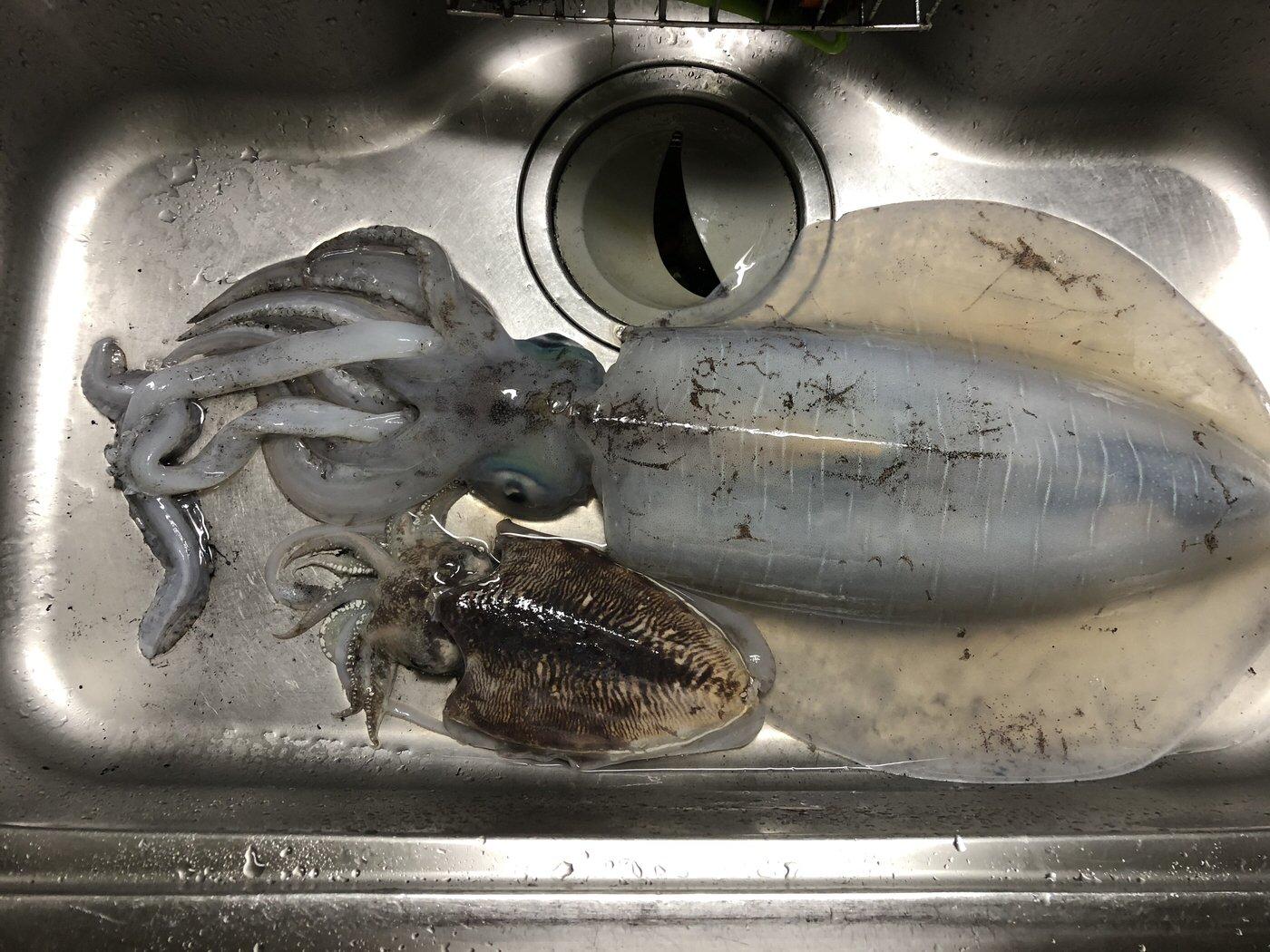 kackyさんの投稿画像,写っている魚はアオリイカ,コウイカ