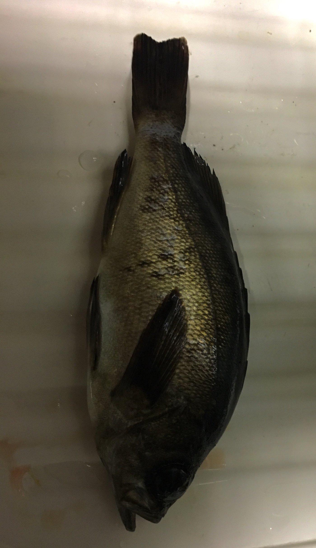 Tomokiさんの投稿画像,写っている魚はメバル