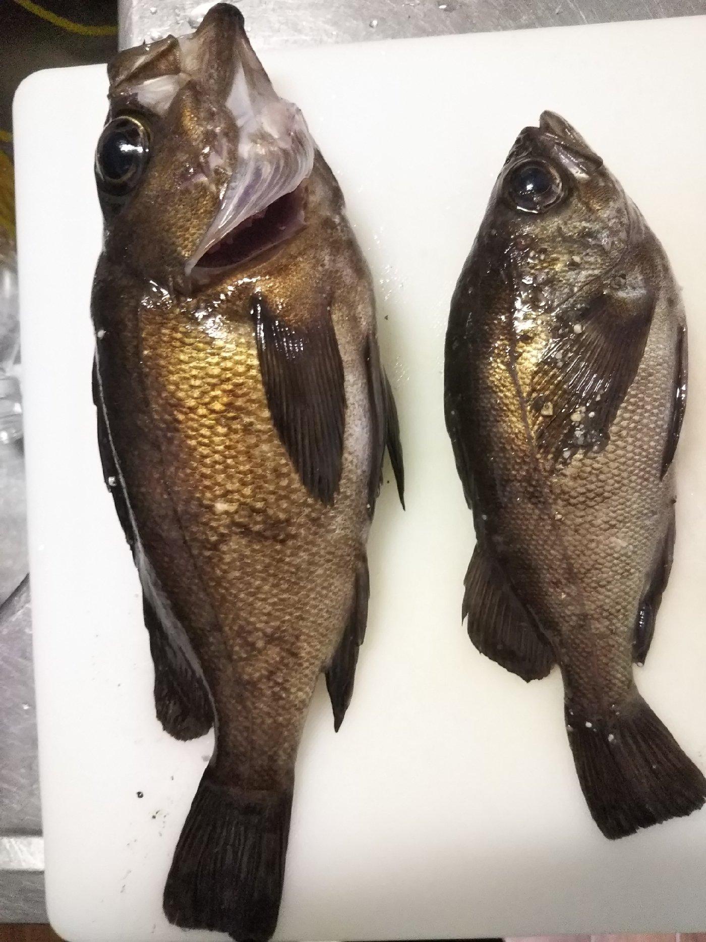 ひがきさんの投稿画像,写っている魚はメバル