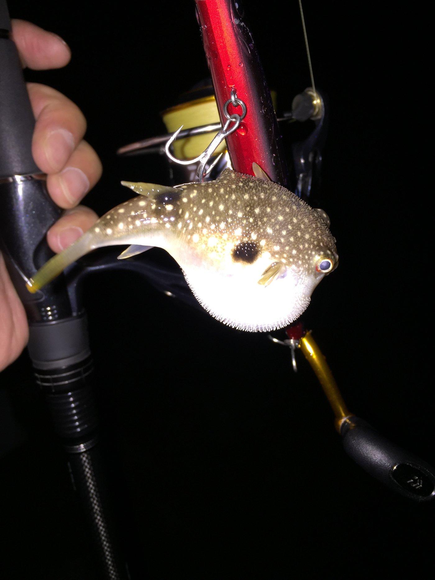 キャッチ&イートさんの投稿画像,写っている魚はクサフグ