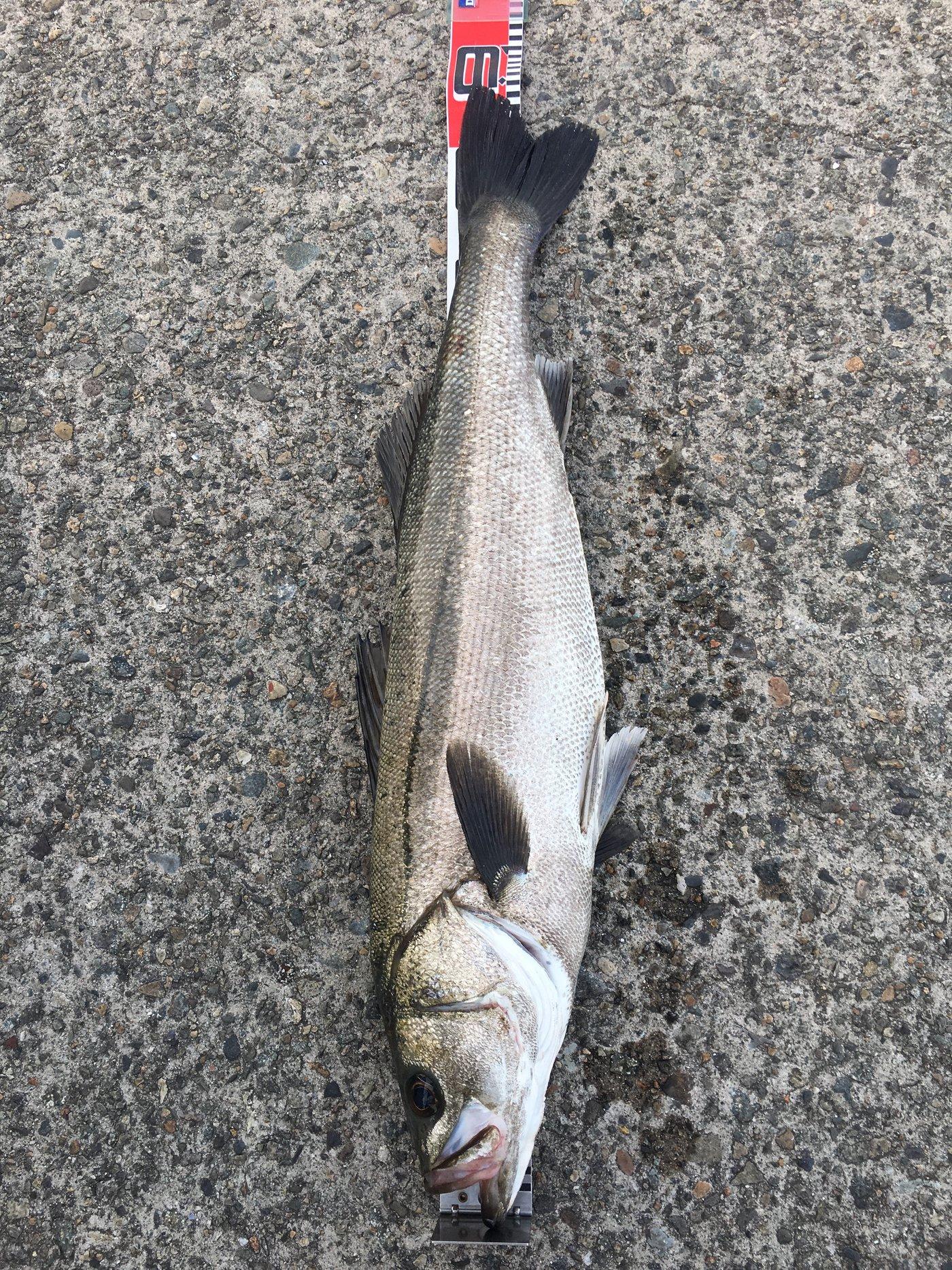 陽光さんの投稿画像,写っている魚はスズキ