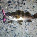 ゆうと@ジョイナスフィッシングさんの山口県周南市でのムラソイの釣果写真