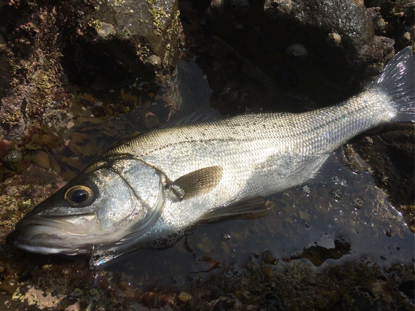 Ryutoさんの投稿画像,写っている魚はヒラスズキ