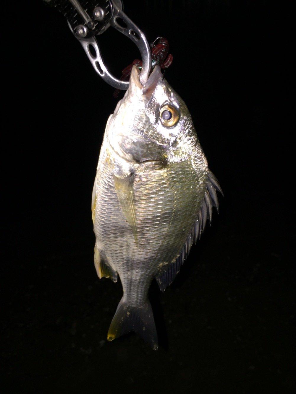 tunaさんの投稿画像,写っている魚はキチヌ