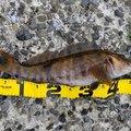 よしゆきさんの北海道茅部郡での釣果写真