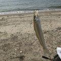 ライクさんの三重県鳥羽市でのシロギスの釣果写真