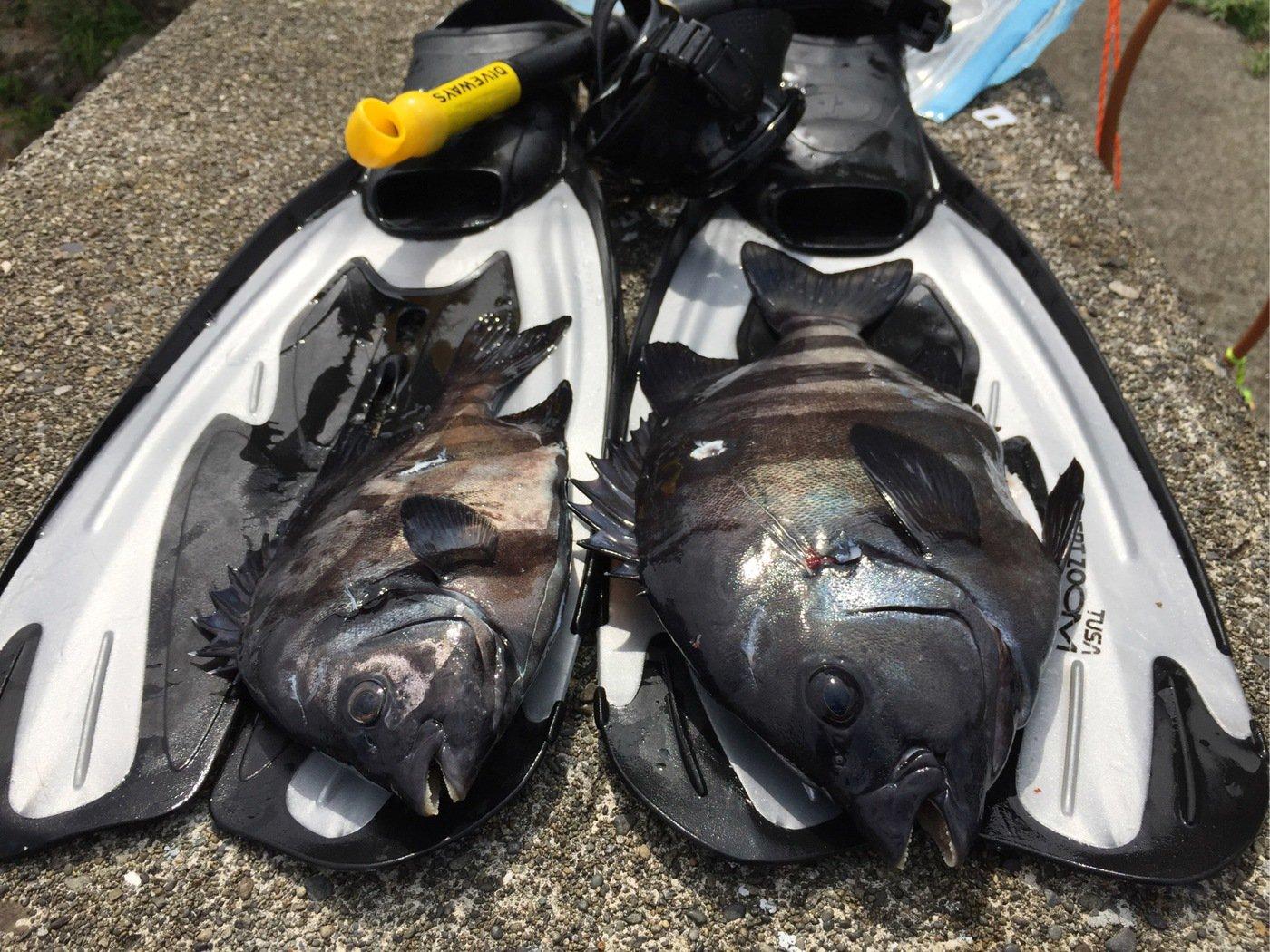 trakさんの投稿画像,写っている魚はイシダイ