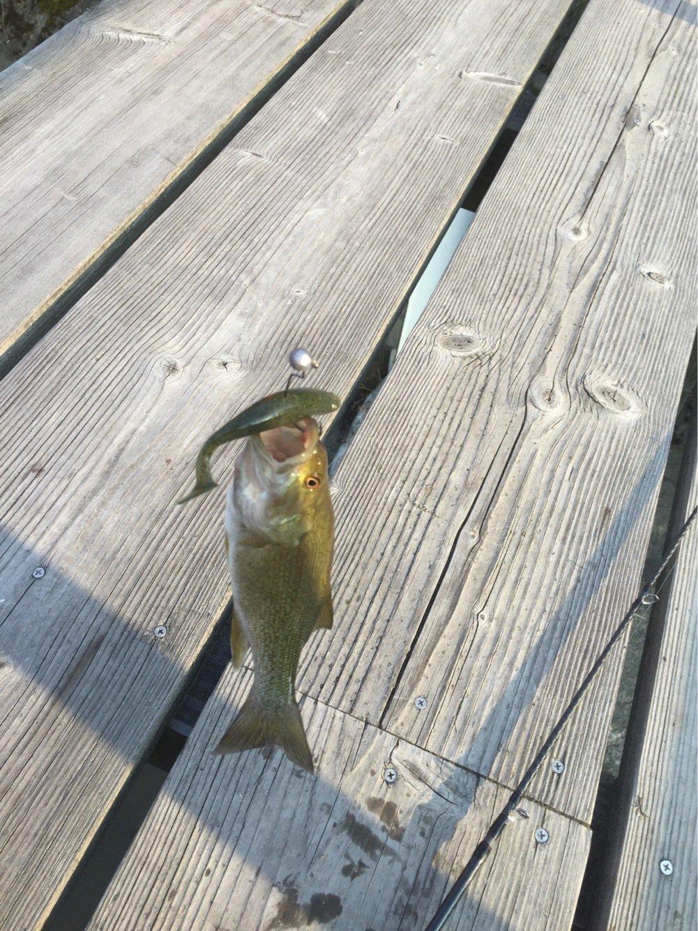 たかひろさんの投稿画像,写っている魚はスモールマウスバス