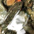 showwwww_1さんの山梨県大月市での釣果写真