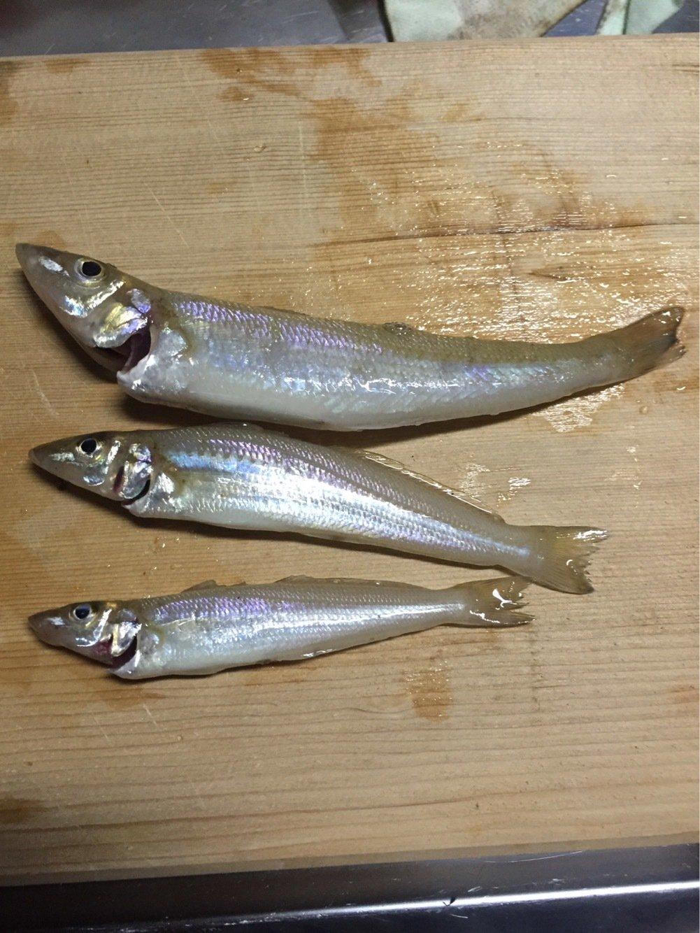 れんさんの投稿画像,写っている魚はシロギス